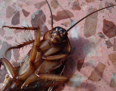 cockroach-15093_1920